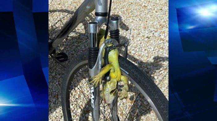 Man on bicycle injured after iguana crossed his path