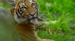 Man cut off tiger's head, ate testicles