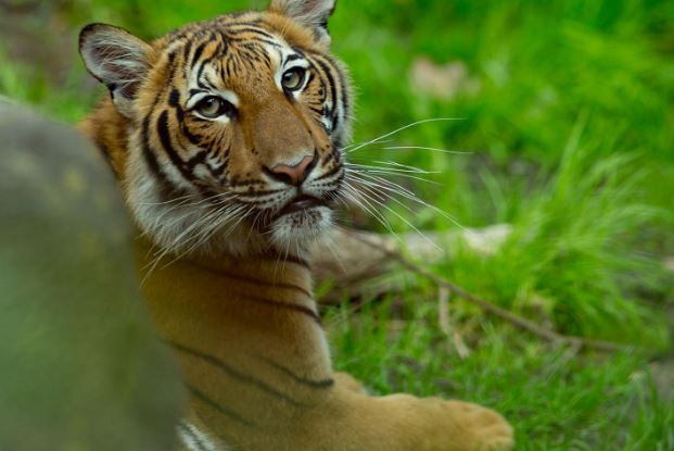 Man cut off tiger's head, ate testicles